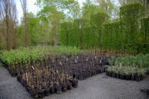 More tree seedlings sit in the parking lot in front of my main greenhouse. The carpinus, or upright European hornbeam hedges are beginning to leaf out.