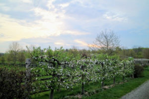 In 2010, I planted six Gravenstein apple espalier trees, Malus 'Gravenstein'. This antique variety is well known for cooking, sauce, cider and eating out of hand. These trees feature showy clusters of fragrant white flowers with shell pink overtones along the branches in mid spring.