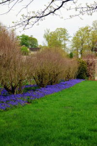 Behind the long clematis pergola and beneath the Rose of Sharon is a blanket of fragrant muscari, or grape hyacinths.