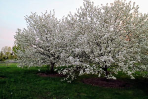 Over the weekend, these crabapple trees erupted with beautiful white flowers.
