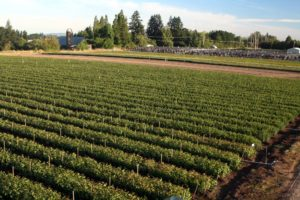 JLPN grows them all on a 110-acre farm in Salem, Oregon. (Photo by John Lewis)