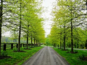 The magnificent allee of pin oaks - I just love the bright green of their leaves this time of year.