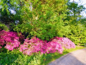 Azaleas are flowering shrubs in the genus Rhododendron. They bloom vibrantly in spring with their flowers lasting several weeks.
