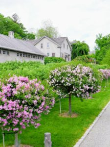 These are 'Miss Kim' lilacs, which bloom in May. They are some of the most fragrant of all the lilac bushes. The light lavender blooms stand out nicely against their dark green leaves. These lilacs prefer full sun to thrive, but will also live in partial shade. It will grow to about seven feet with a mature spread of five to six feet.