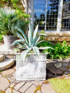Here is a large, antique lead container planted with another blue agave and some Helichrysum. This planter is one of a pair, and was made sometime in the 18th to 19th century.