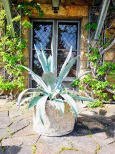 I love this faux bois planter holding another agave. Agaves are long-leafed succulents with shallow roots and showy, spiked leaves. A little extra care should be taken whenever working with such sharp plants - always protect the eyes and face when handling agaves.