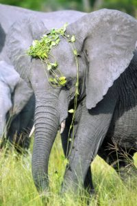 The elephant is feeding on summer greenery - the young animal seems to be feeling a little playful.