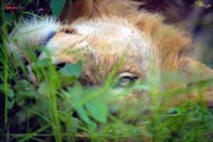 In the tall grasses, this lazy lion keeps a weary eye on us in the vehicle.