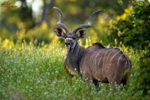 This striking Kudu bull poses for a moment in a sea of green grass. Summertime in Africa is so different, yet beautiful in its own right.