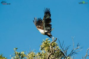 Here, a young African fish eagle takes flight. The African sea eagle, is a large species throughout sub-Saharan Africa wherever there are large bodies of open water with an abundance of food.