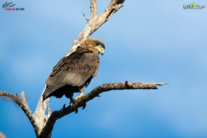 This young Bateleur is keeping an eye on the vehicle below. These birds are the most agile of the eagles, and are common in the skies of Africa.