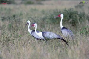 Here is a small group of wattled crane on the plains of the Okavango Delta. At a height of up to nearly six-feet, it is the largest crane in Africa and the second tallest species of crane.