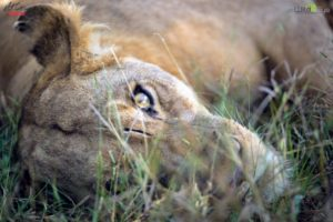 A lioness peers at us through the lush summer grass.