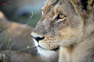 Here is a beautiful portrait of a watchful lioness.