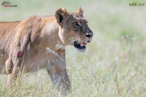 Here, a lioness spots vultures descending to the ground in the distance, and heads over to investigate. Vultures like that could signal a potential dead animal and a free meal. Jude and Truman were never afraid - just so excited to see all the stunning wildlife.