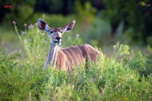 This is a kudu cow feeding on summer greenery. Kudus like to eat leaves and shoots. In very dry seasons they eat wild watermelons and other fruit for the liquid and natural sugars that they provide.