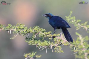 This is a gorgeous Meves's starling on a thorny Acacia. These birds are found in Angola, Botswana, Malawi, Mozambique, Namibia, South Africa, Zambia, and Zimbabwe.