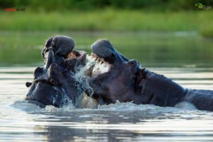 Two large hippos duel it out in a rain-filled pan on Chief's Island, Okavango Delta. Of all of us, my daughter, Alexis, enjoyed the trip the most - it was her first African safari. She was so enamored by the animals, especially the hippos.