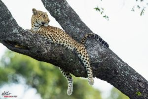 A stunning leopardess relaxes up a tree in the heart of the Delta.