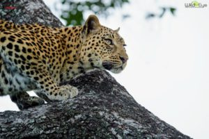 Eye contact with the same female leopard. It's very intense, an experience not easily forgotten.