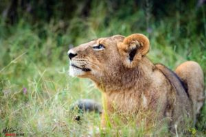 This is a young lion looking up - not sure what he sees, but he watches with great focus.