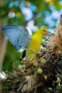 This is one of Africa's most striking birds, the African green pigeon. These birds nest in tree forks with good vantage points of the area. Their nests are made with a weak platform of sticks, collected by the male and arranged by the female.