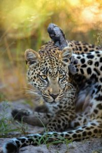 The same female leopard as before, stopping for some grooming. They often do this. It allows them to cool off a little, and to listen for any signs of prey in the nearby vicinity.