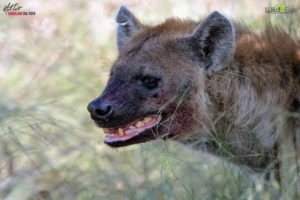 We enjoyed an incredible sighting. African wild dogs chased and killed a young kudu. The kudu carcass was eventually stolen by this large hyena. Notice her massive teeth, strong and powerful and well designed to crush bone.