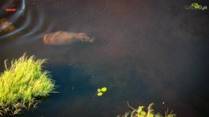 """Here is a hippo completely submerged and moving along the sandy bottom of a channel in the Okavango Delta. It's such a unique view of Africa's """"river horse""""."""