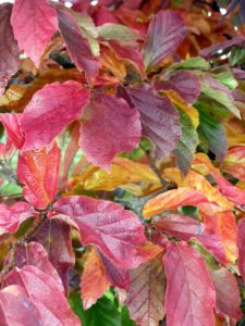Parrotia persica, or ironwood, has a mixture of red and orange leaves in fall. Grown single stem or multi-stem, Parrotia is outstanding in any form. Its mature bark exfoliates in a patchwork of gray, green, white and brown. (Photo by John Lewis)