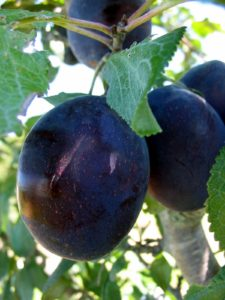 Here is a 'Stanley' European plum. (Courtesy of Fedco Trees)