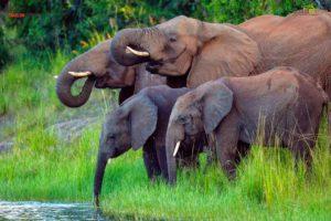 Here, elephants drinks from the Zambezi River.