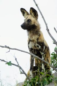 The African wild dog - the most successful large predator in Africa. They are ever alert and are successful on 80-percent of all hunts. Compare that to a meager 30-percent by lions, and it gives you an idea of just how good they are.