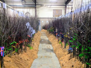 Over the winter, Fedco's bare-root cuttings are stored under a generous layer of sawdust before they are shipped. (Courtesy of Fedco Trees)