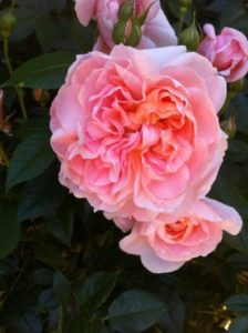 This old fashioned, salmon pink rose is called 'Colette'. It blooms with 134 to 140 petals. It has a strong tea rose fragrance, and a healthy and hardy bush. (Photo courtesy of Northland Rosarium)