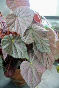 This stunning plant is Begonia 'Passing Storm' - a rhizomatous heirloom variety with pink to silver colored foliage.