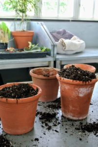 For growing begonias indoors, use a soil-less mix - one that is mostly peat-moss based with additional perlite and/or vermiculite to improve aeration around the roots.