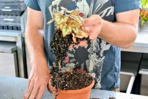 Ryan gently removes the begonia from the plastic pot and loosens the roots with his hands.