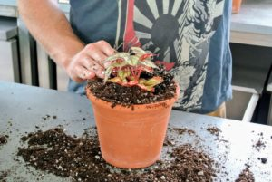 More potting mix is added around the plant and patted down, so there is good contact between the plant and the soil.