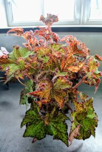 This is Begonia 'Shooting Star' - an outstanding new Logee's hybrid with tightly spiraled leaves that are deeply pointed. Chartreuse mottled leaves with chocolate-burgundy edges make this begonia a fancy specimen.