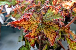 A standard rhizomatous begonia, 'Shooting Star' has an upright structure with thick heavy stems and tight internodes to show off its big colorful leaves. White flowers appear above the foliage in the wintertime and, like many begonias, 'Shooting Star' is tolerant to heat and home conditions.