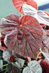 Look at the leaves - they are almost tear shaped. It is so pretty. It prefers slightly moist soil and partial sun.