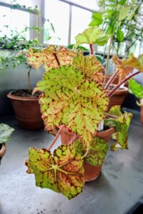 'Lime Royal' has magnificent lime leaves with colorful red splashes. It is ideal for a partially sunlit windowsill.