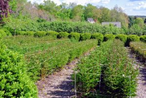 Here is the bed a couple weeks later - the stakes and twine are already beginning to support the long peony stems.