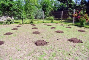These round hills are the perfect size for planting the pumpkin seeds.