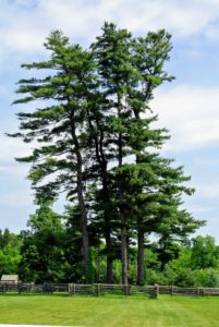 The group walked past the great white pine trees. Pinus Strobus is a large pine native to eastern North America. Some white pines can live more than 400-years.