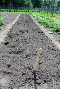 Here is our long bed of zucchini - these will be so tasty come harvest time.