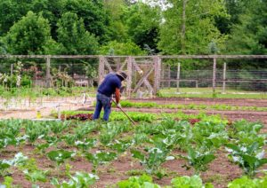 Here, Wilmer is also spreading salt hay and checking on all the growing vegetables. I am glad our crops are thriving despite the erratic weather here in the Northeast.