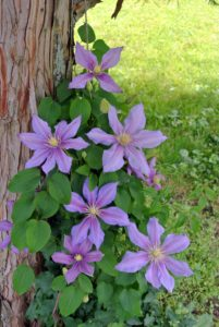 Clematis is a genus of about 300-species. They are mostly vigorous, woody, climbing vines. They need at least six hours of sun a day, and should be planted in well-drained soil. They have deep roots, so they should also be watered thoroughly.