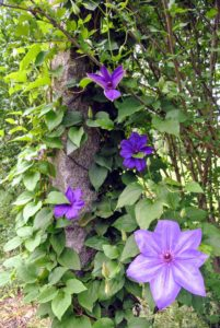 Here is another clematis. These plants are valued for their ability to climb, and to scramble up walls, fences and other structures. They grow in any good garden soil and their roots usually do well in moist cool areas where they can get full sun.